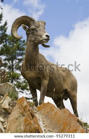 Bighorn sheep ram in Banff National Park, Alberta, Canada.