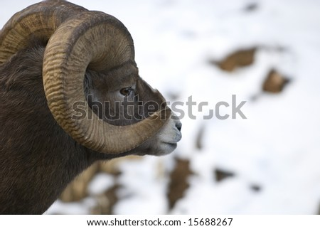 Bighorn Sheep Ram in the Canadian Rocky Mountains ; Photo taken high in the mountains of Banff National Park.