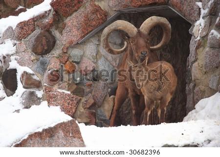 bighorn sheep ram in zoo