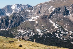 Bighorn Sheep Sitting on Mountain Ridge 01