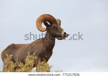 Bighorn sheep Valley of Fire Nevada #775217836