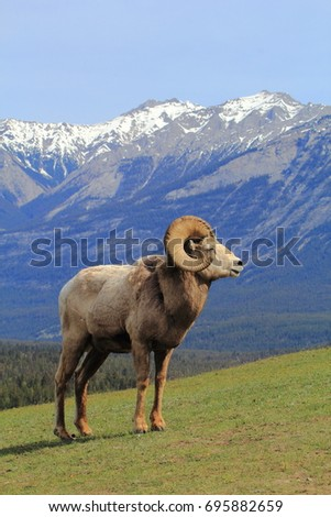 bighorn sheep with mountain...