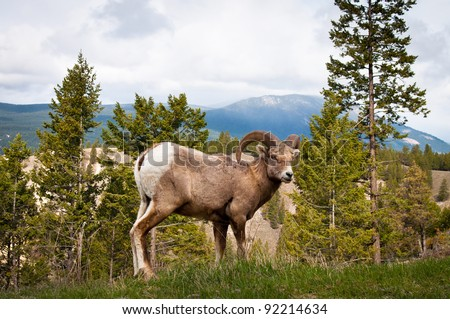 Bighorn wild sheep (Ovis canadensis) Ram