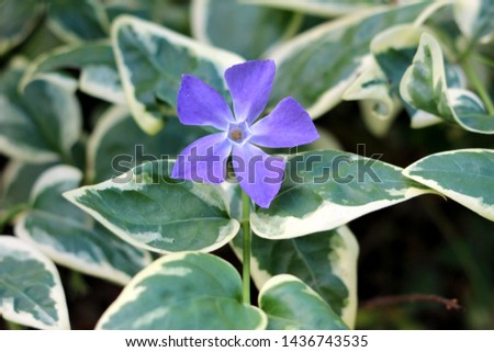 Bigleaf periwinkle or Vinca major or Large periwinkle or Greater periwinkle or Blue periwinkle evergreen perennial flowering plant with glossy dark green leathery leaves and single violet flower