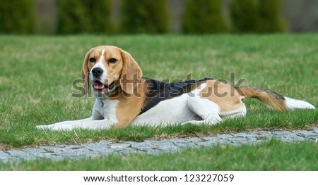 Bigly dog, Calm colourful dog bigly with the green grass background, looking, lying on a grass. Little Bigly