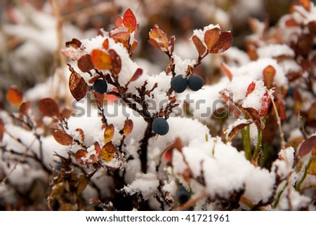 Bilberry bush covered with first snow. Swiss Alps. Aletsch region close to Bettmeralp.