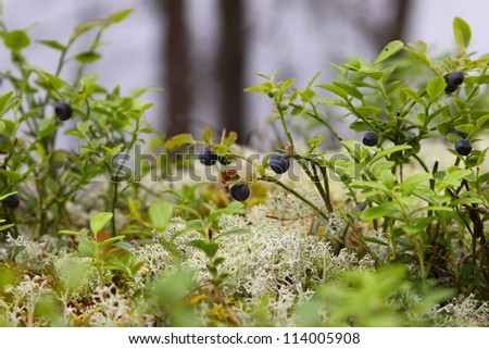 bilberry bush in the forest in Karelia