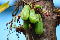 Bilimbi fruit , used for treat blood pressure, rectal bleeding, high cholesterol