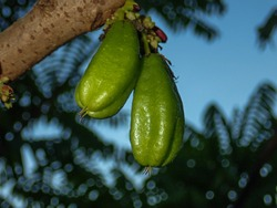 bilimbi hanging at tree in farm located in Malaysia