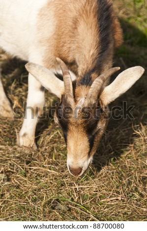 Billy goat at the meadow