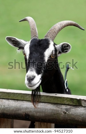 Billy goat or male goat with long beard looking over a wooden fence
