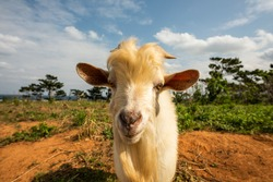 Billy goat with blond long fur and horns looking into the camera. Iriomote island.