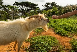 Billy goat with long, very shiny fur eating a leaf, feeding by a female hand on the Iriomote island.