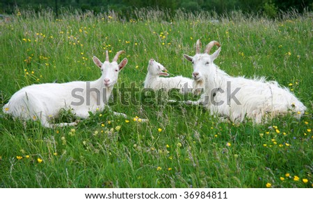 Billy goats - stock photo