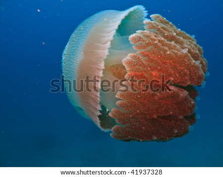 Biluminescent Jelly fish on Great Barrier Reef Australia