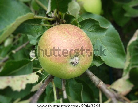 bio-apple on tree