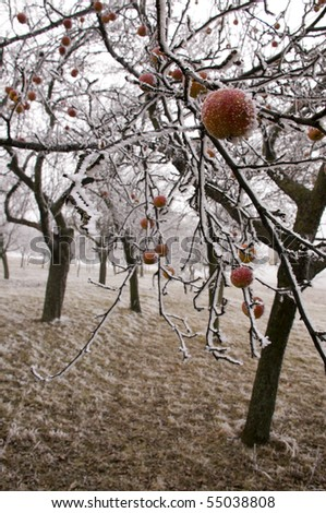 Bio apples left on the trees in freezing winter