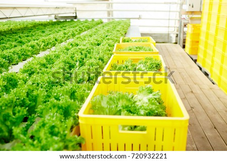 Bio food growing in greenhouse and some plastic farm baskets with fresh lettuce