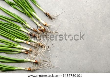 Bio organic vegetables. Freshly harvested spring green onion or fresh scallion.