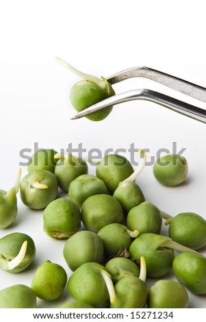 biochemistry research concept - pea examination on tweezers