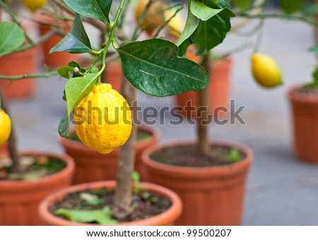 Biological Lemons on tree in the pot