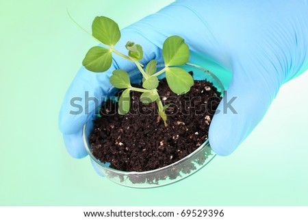 Biologist's hand holding pea plant with petri dish
