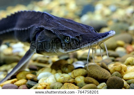 Biologists say that Sturgeons fish are the most primitive of the bony fishes alive today. #764758201