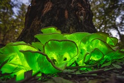 bioluminescent Ghost mushroom (Omphalotus nidiformis) full moon Thirlmere lakes National park, NSW , Australia.