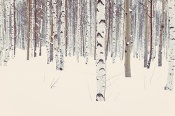 Birch and aspen trees in the park or in the woods in winter snow