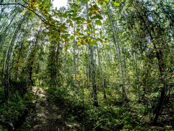 birch and pine mixed forest in summer, Fisheye