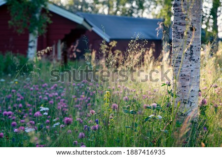 Birch and wildflower meadow in front of old Swedish farmhouses in morning sun Foto stock ©
