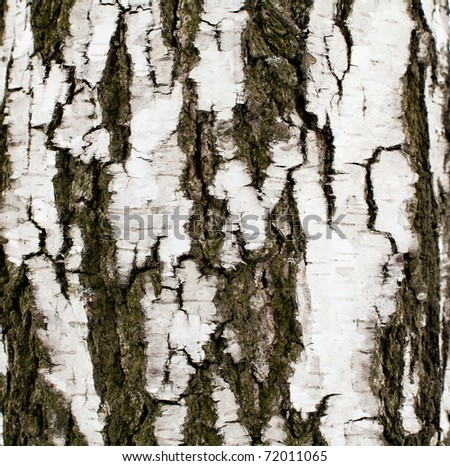 Birch background