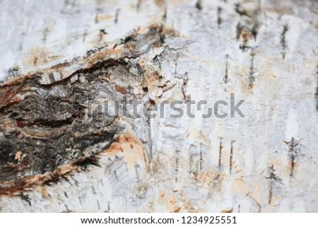 birch bark texture  #1234925551