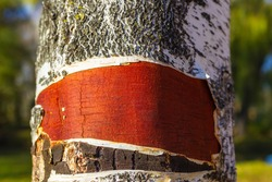 Birch bark. The upper layer of the bark, torn from birch. Texture, burgundy stem base, detail of the trunk surface.