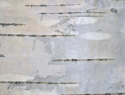 Birch-bark with horizontal stripes and a thin silvery film. Natural background and texture of birch, close-up.