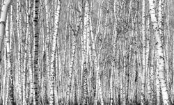 birch, black and white photo