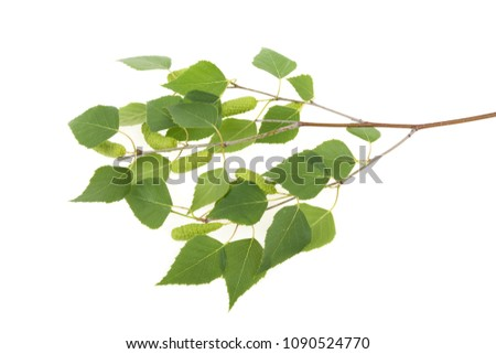 birch branch with leaves and kidneys on a white background #1090524770