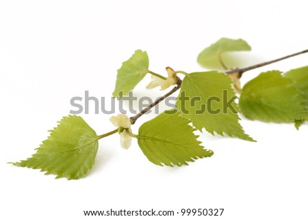 birch branch with leaves isolated on white