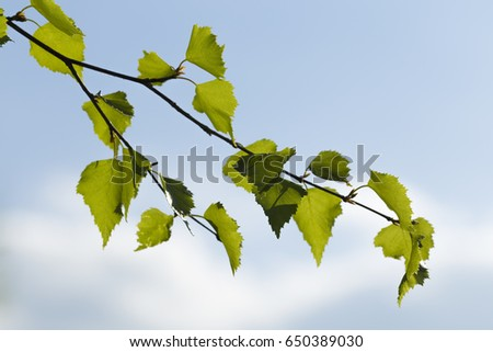 Birch branch with new leaves against sky background #650389030