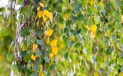 Birch branch with yellow and green autumn leaves