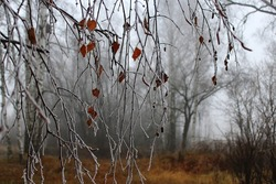 Birch branches covered with frost in the forest, frosty morning. Fog. An eerie landscape.