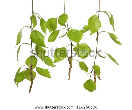 Birch branches with leaves on a white background.