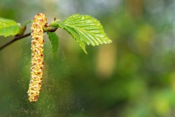 Birch catkins in spring park close-up, allergies to pollen of spring flowering plants concept