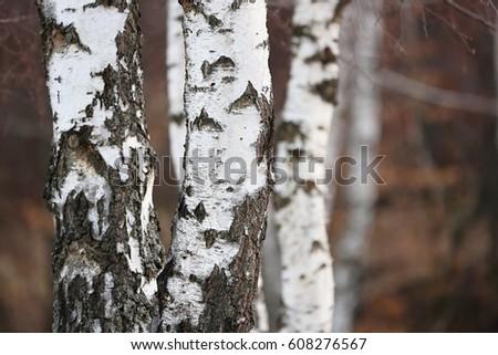 Birch forest. Betula pendula (Silver Birch)