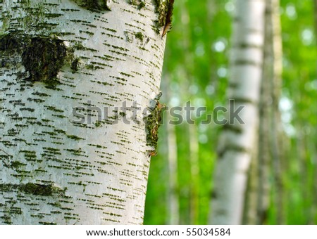 Birch forest. Betula pendula (Silver Birch) Birch resin is used in the pharmacy and cosmetics industry (hair conditioner). Close up with shallow dof.