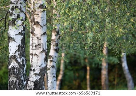 Birch forest. Betula pendula (Silver Birch). Country Slovakia, Europe.