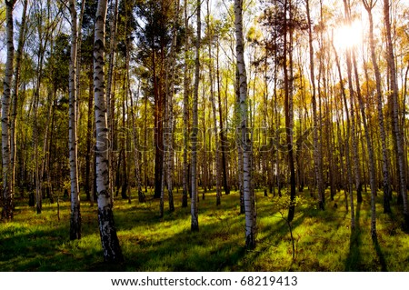 Birch forest in early spring with the sun shining through the trees.