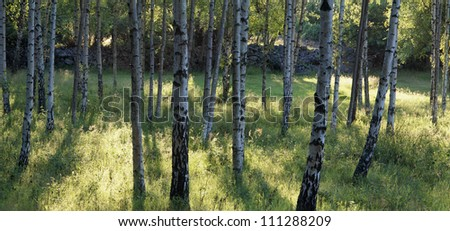 Birch forest in the summer