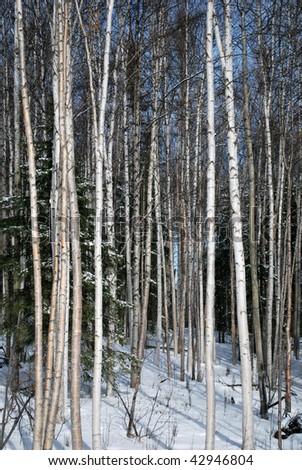 Birch Forest in the Winter near Fairbanks Alaska