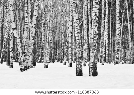Birch forest in winter in black and white